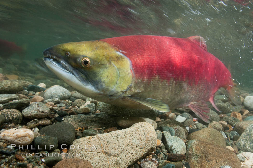 Adams River sockeye salmon.  A female sockeye salmon swims upstream in the Adams River to spawn, having traveled hundreds of miles upstream from the ocean. Roderick Haig-Brown Provincial Park, British Columbia, Canada, Oncorhynchus nerka, natural history stock photograph, photo id 26145