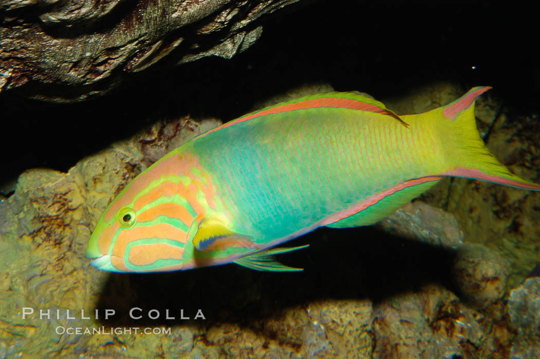 Sunset wrasse., Thalassoma lutescens, natural history stock photograph, photo id 08872