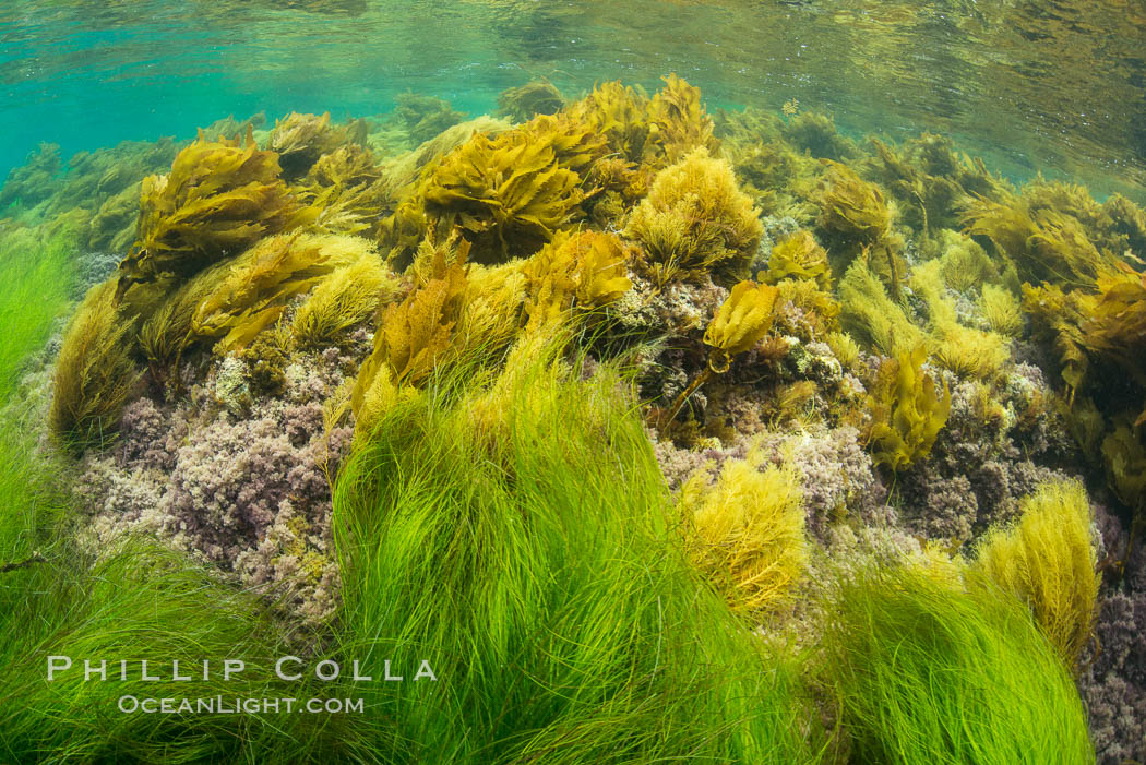 Southern sea palm (yellow) and surf grass (green), shallow water, San Clemente Island. California, USA, Eisenia arborea, Phyllospadix, natural history stock photograph, photo id 30958