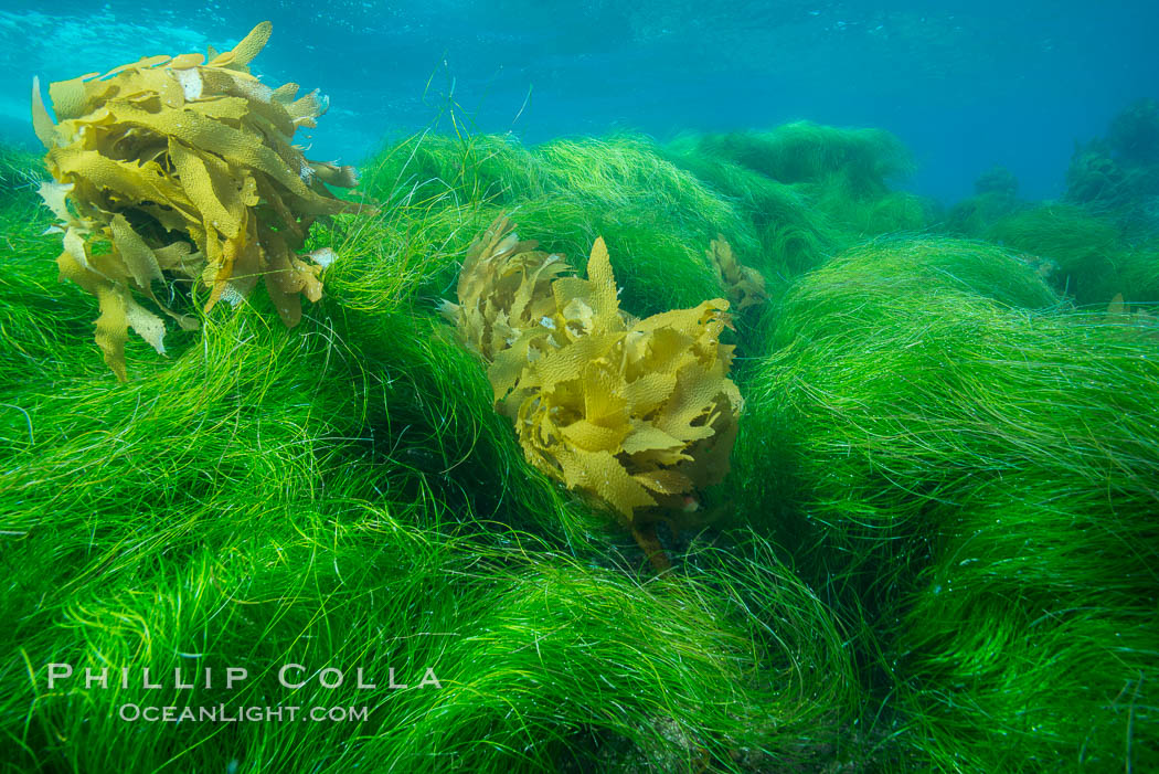 Southern sea palm (yellow) and surf grass (green), shallow water, San Clemente Island. San Clemente Island, California, USA, Eisenia arborea, Phyllospadix, natural history stock photograph, photo id 30884