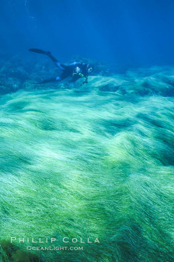 Surfgrass and diver. Guadalupe Island (Isla Guadalupe), Baja California, Mexico, Phyllospadix, natural history stock photograph, photo id 03736
