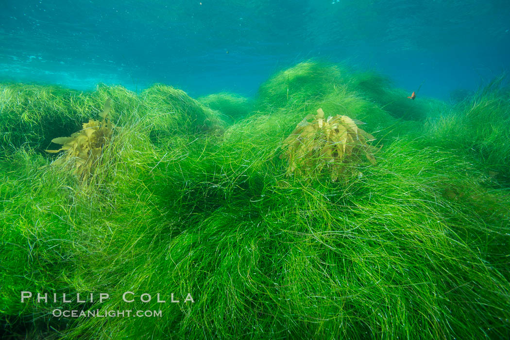Surfgrass (Phyllospadix), shallow water, San Clemente Island. California, USA, Phyllospadix, natural history stock photograph, photo id 30883
