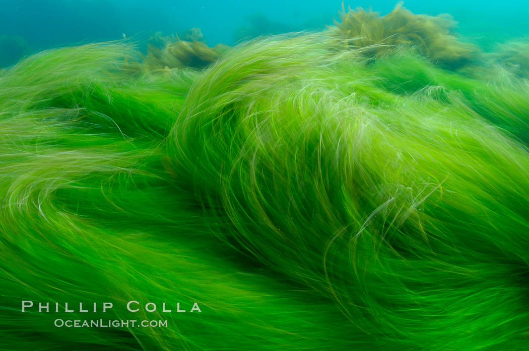 Surf grass on the rocky reef -- appearing blurred in this time exposure -- is tossed back and forth by powerful ocean waves passing by above.  San Clemente Island. San Clemente Island, California, USA, Phyllospadix, natural history stock photograph, photo id 10237