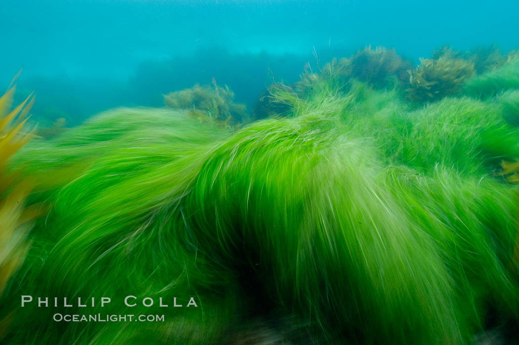Surf grass on the rocky reef -- appearing blurred in this time exposure -- is tossed back and forth by powerful ocean waves passing by above.  San Clemente Island. California, USA, Phyllospadix, natural history stock photograph, photo id 10249