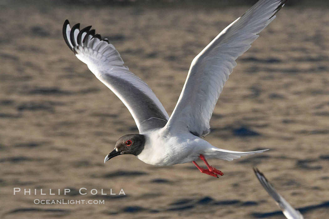 Swallow-tailed gull. Wolf Island, Galapagos Islands, Ecuador, Creagrus furcata, natural history stock photograph, photo id 16590