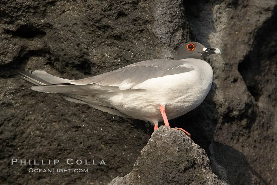 Swallow-tailed gull. Wolf Island, Galapagos Islands, Ecuador, Creagrus furcata, natural history stock photograph, photo id 16593