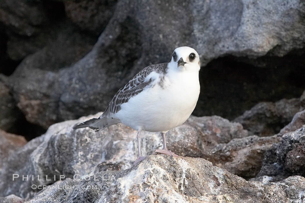 Swallow-tailed gull chick. Wolf Island, Galapagos Islands, Ecuador, Creagrus furcata, natural history stock photograph, photo id 16598
