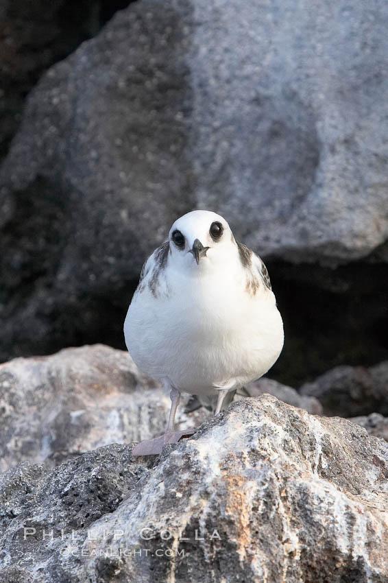 Swallow-tailed gull chick. Wolf Island, Galapagos Islands, Ecuador, Creagrus furcata, natural history stock photograph, photo id 16592