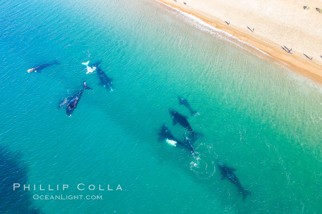 Ten southern right whales very close to shore, including four calves and a rare white calf, people watching from the beach, aerial photo, Patagonia, Argentina, Eubalaena australis, Puerto Piramides, Chubut