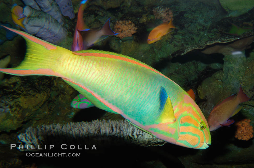 Sunset wrasse., Thalassoma lutescens, natural history stock photograph, photo id 08873