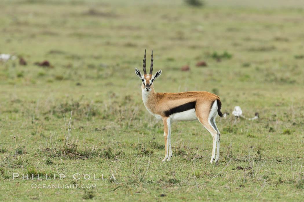 Thompson's gazelle, Maasai Mara, Kenya. Olare Orok Conservancy, Kenya, Eudorcas thomsonii, natural history stock photograph, photo id 30048