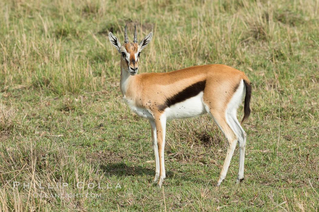 Thompson's gazelle, Maasai Mara, Kenya. Maasai Mara National Reserve, Kenya, Eudorcas thomsonii, natural history stock photograph, photo id 29969