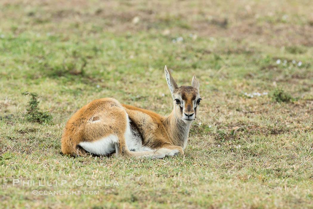 Thompson's gazelle, Maasai Mara, Kenya. Olare Orok Conservancy, Kenya, Eudorcas thomsonii, natural history stock photograph, photo id 30049