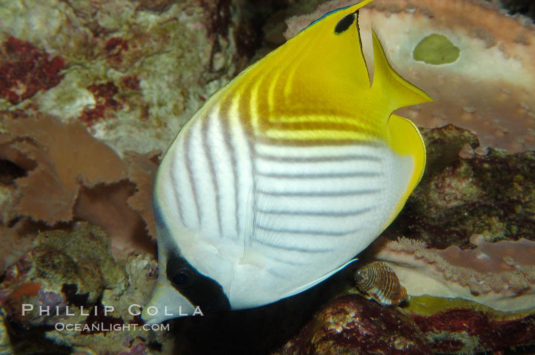 Threadfin butterflyfish., Chaetodon auriga, natural history stock photograph, photo id 09291