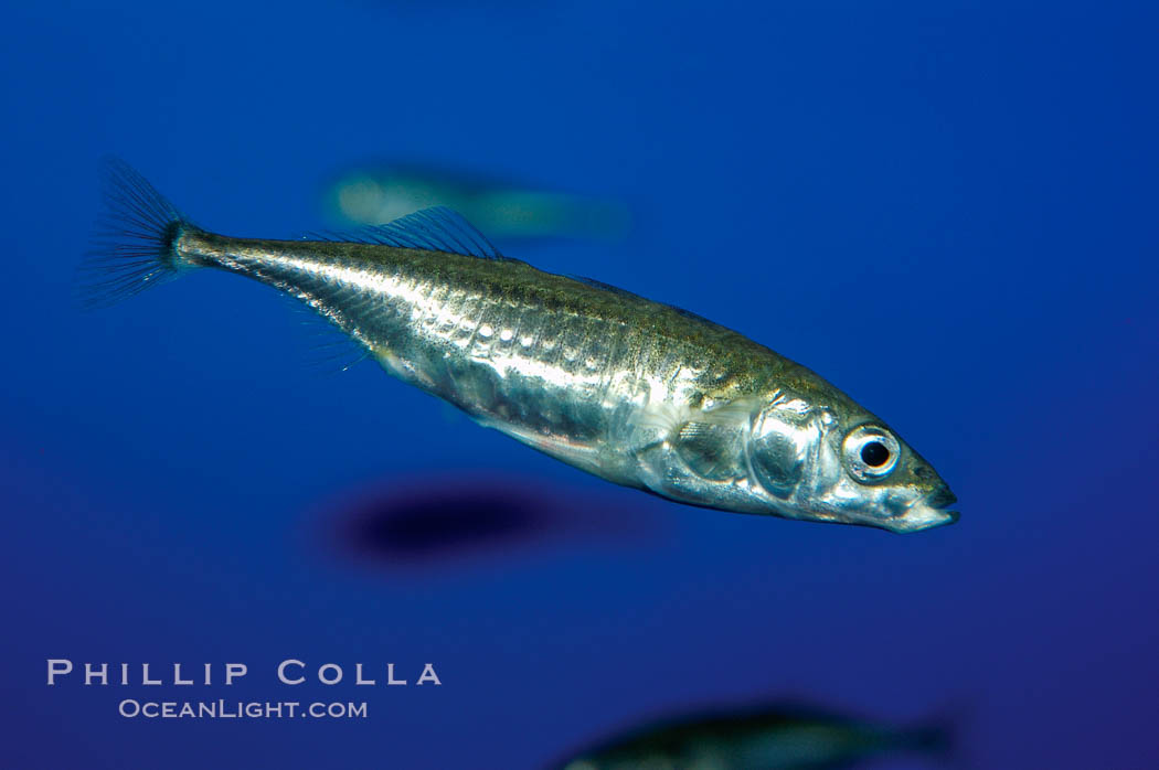 The three-spined stickleback is found in freshwater, brackish and marine waters., Gasterosteus aculeatus, natural history stock photograph, photo id 10288