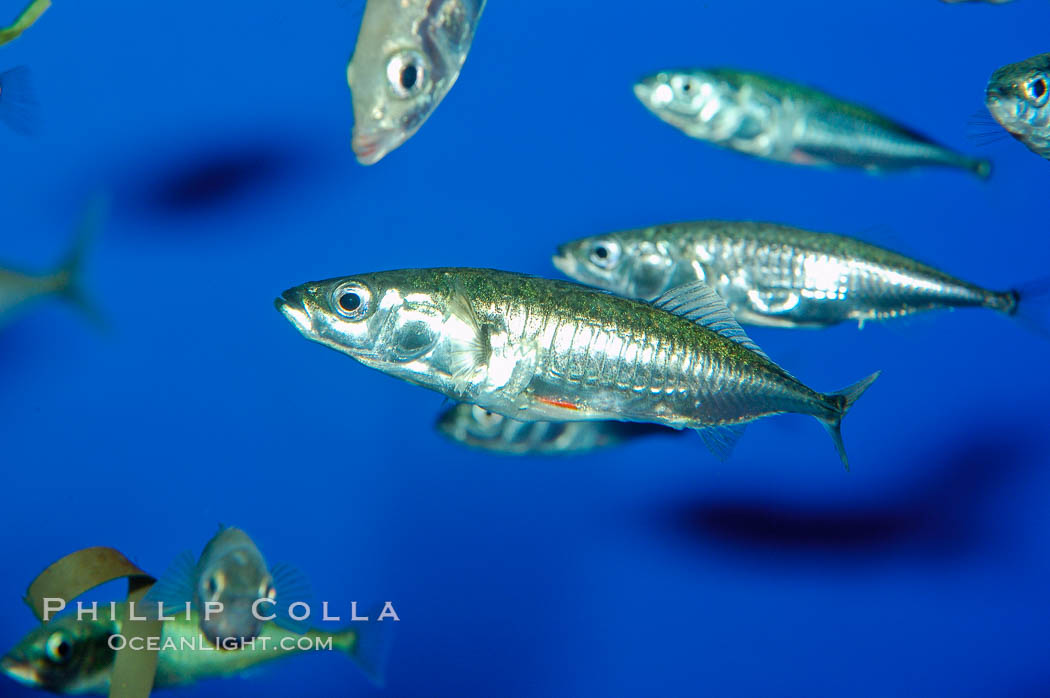 The three-spined stickleback is found in freshwater, brackish and marine waters., Gasterosteus aculeatus, natural history stock photograph, photo id 10287