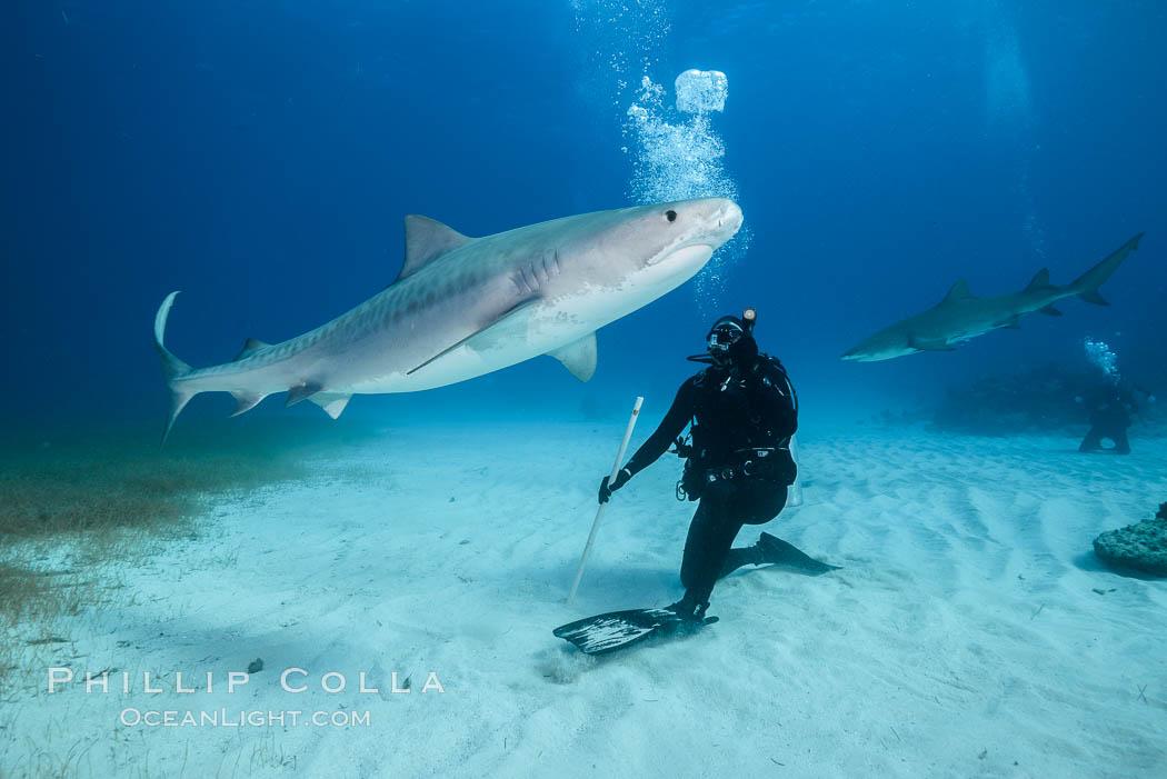 Tiger shark and SCUBA diver. Bahamas, Galeocerdo cuvier, natural history stock photograph, photo id 31903
