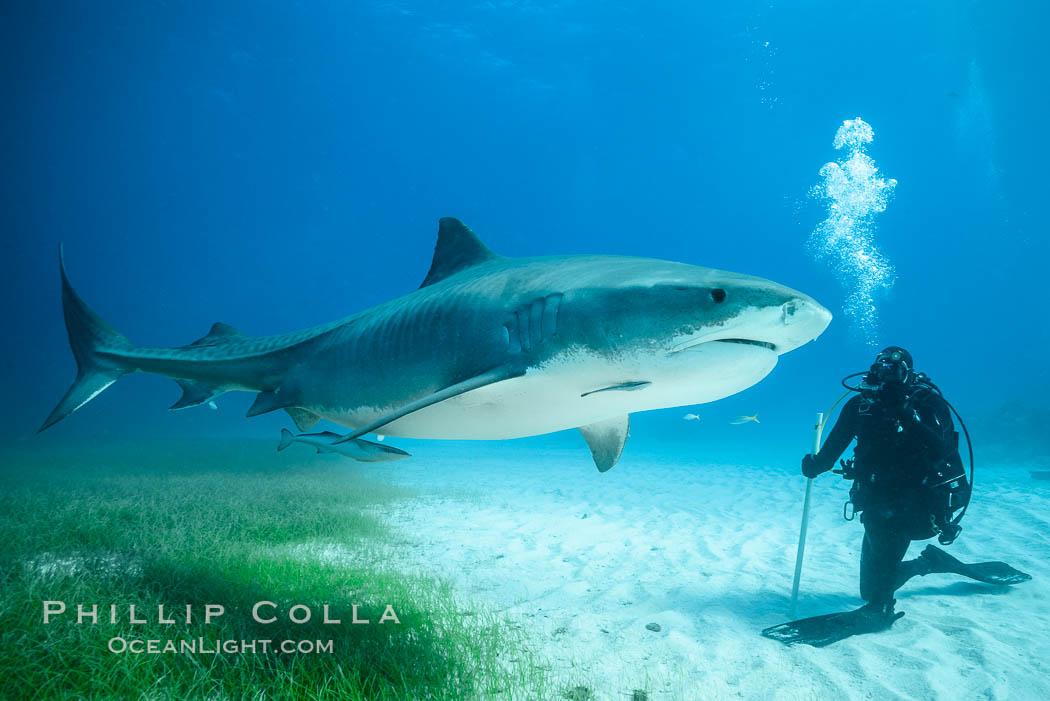 Tiger shark and SCUBA diver. Bahamas, Galeocerdo cuvier, natural history stock photograph, photo id 31927