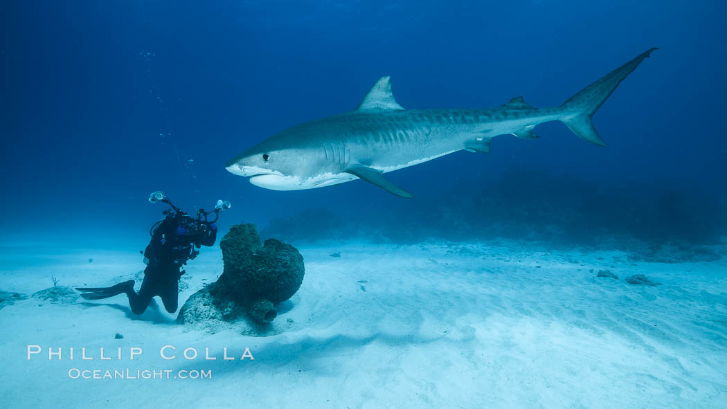 Tiger shark and underwater photographer. Bahamas, Galeocerdo cuvier, natural history stock photograph, photo id 31900