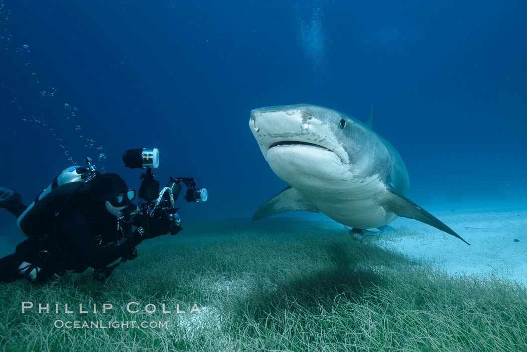Tiger shark and underwater photographer. Bahamas, Galeocerdo cuvier, natural history stock photograph, photo id 31923