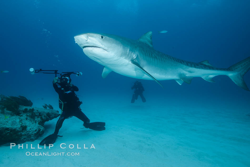 Image 31935, Tiger shark and underwater photographer. Bahamas, Galeocerdo cuvier