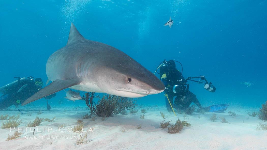 Tiger shark and photographer Jim Abernethy. Bahamas, Galeocerdo cuvier, natural history stock photograph, photo id 10690