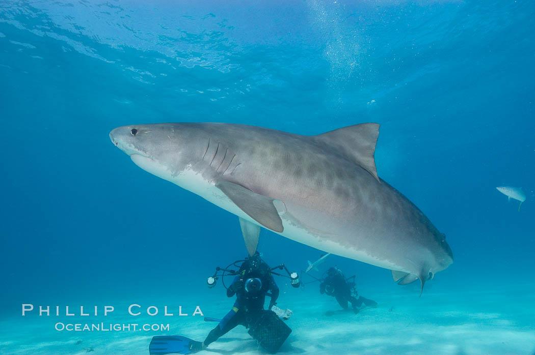 Tiger shark and photographer Jim Abernethy. Bahamas, Galeocerdo cuvier, natural history stock photograph, photo id 10660