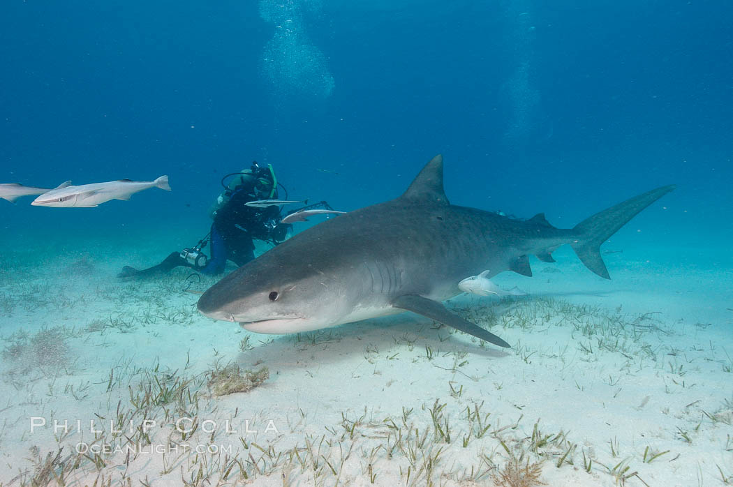 Tiger shark and photographer Ken Howard. Bahamas, Galeocerdo cuvier, natural history stock photograph, photo id 10668