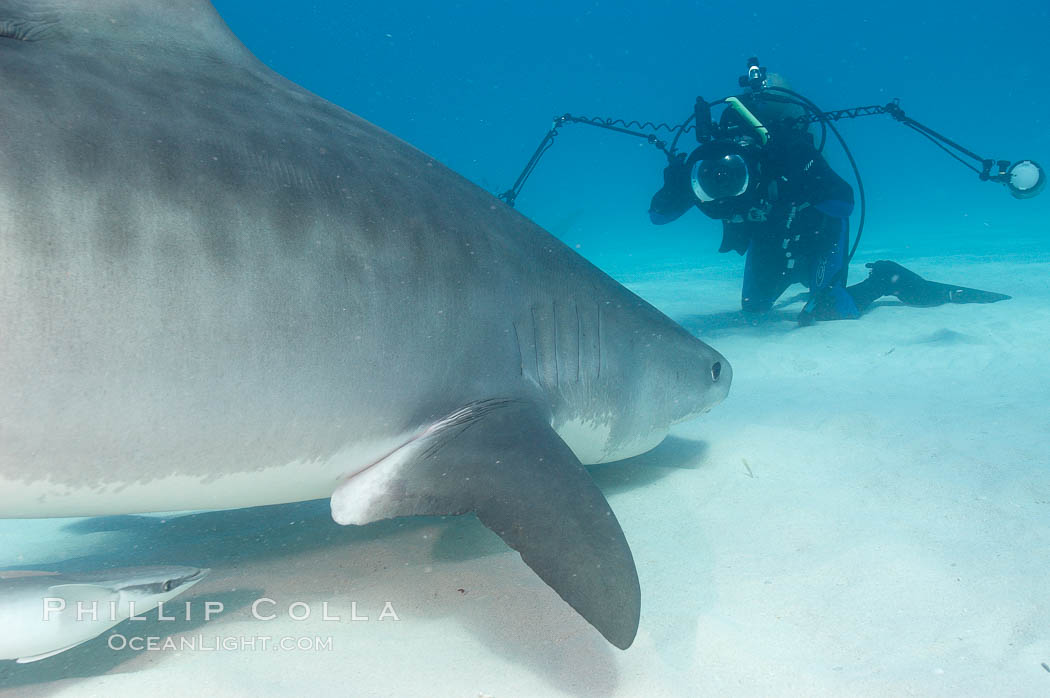 Tiger shark and photographer Ken Howard. Bahamas, Galeocerdo cuvier, natural history stock photograph, photo id 10680