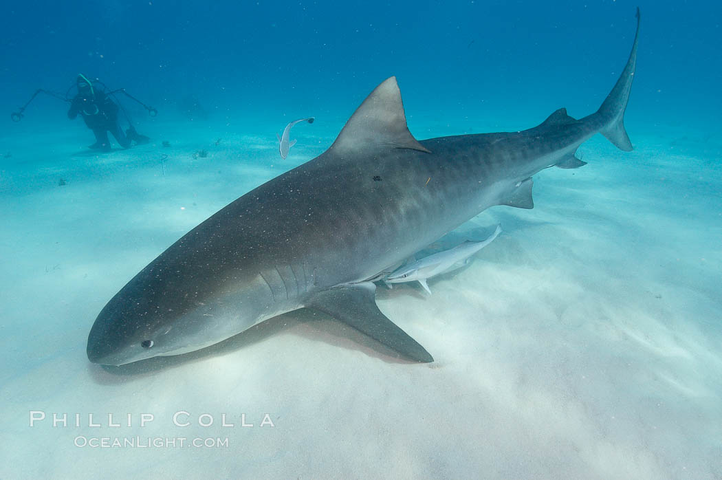 Tiger shark and photographer Ken Howard. Bahamas, Galeocerdo cuvier, natural history stock photograph, photo id 10684