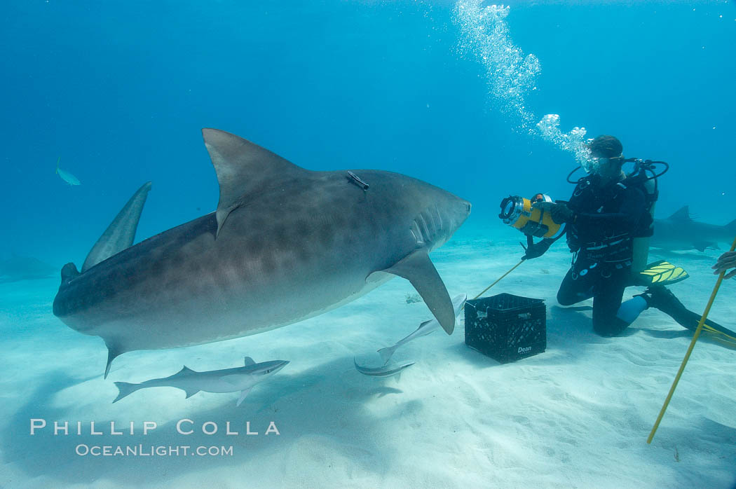 Large tiger shark and videographer. Bahamas, Galeocerdo cuvier, natural history stock photograph, photo id 10704