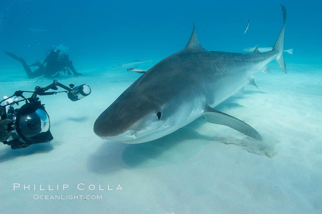 Tiger shark and photographer Jim Abernethy. Bahamas, Galeocerdo cuvier, natural history stock photograph, photo id 10675