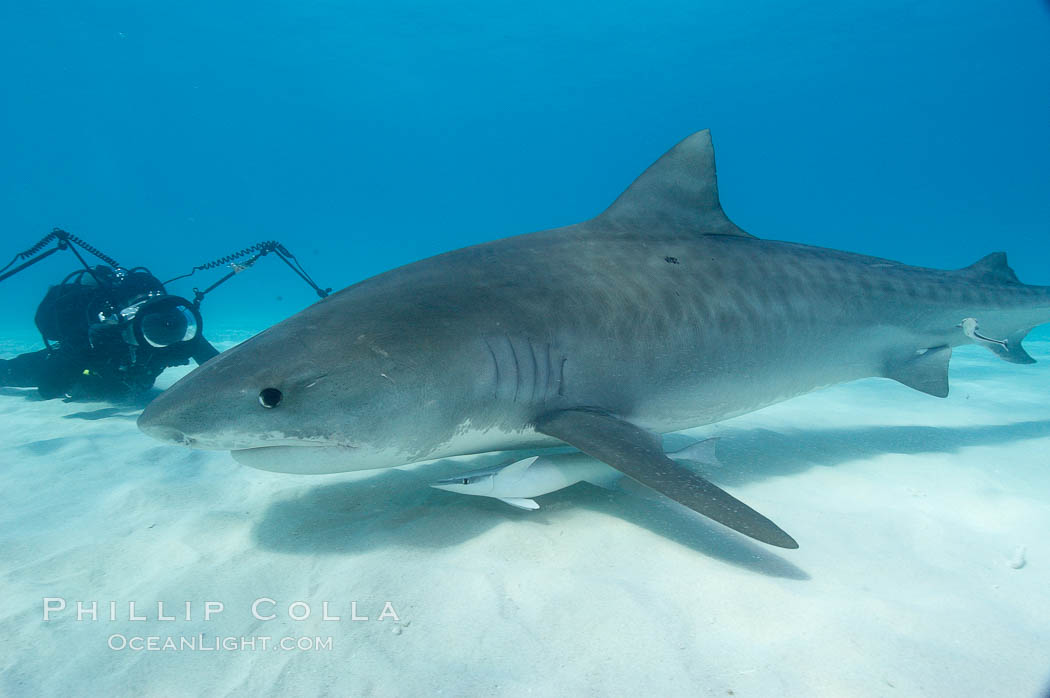 Tiger shark and photographer Keith Grundy. Bahamas, Galeocerdo cuvier, natural history stock photograph, photo id 10657