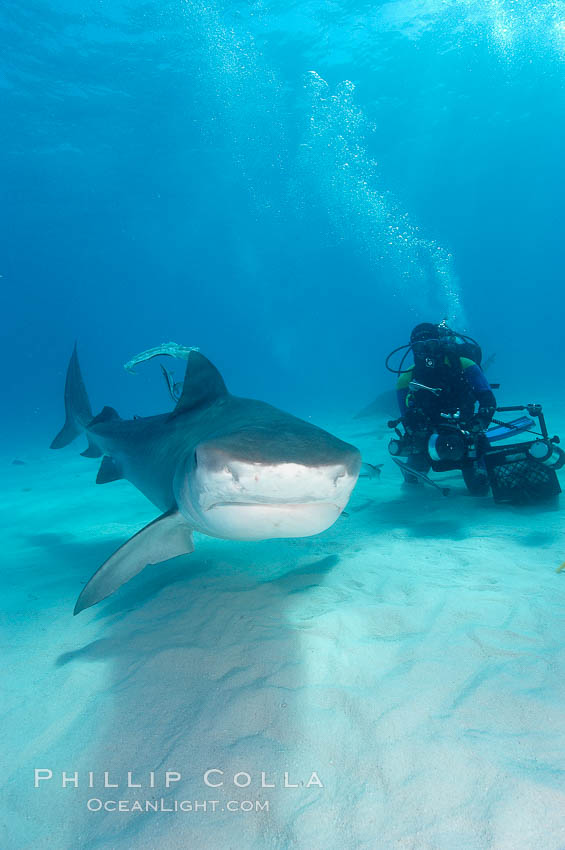 Tiger shark and diver. Bahamas, Galeocerdo cuvier, natural history stock photograph, photo id 10661