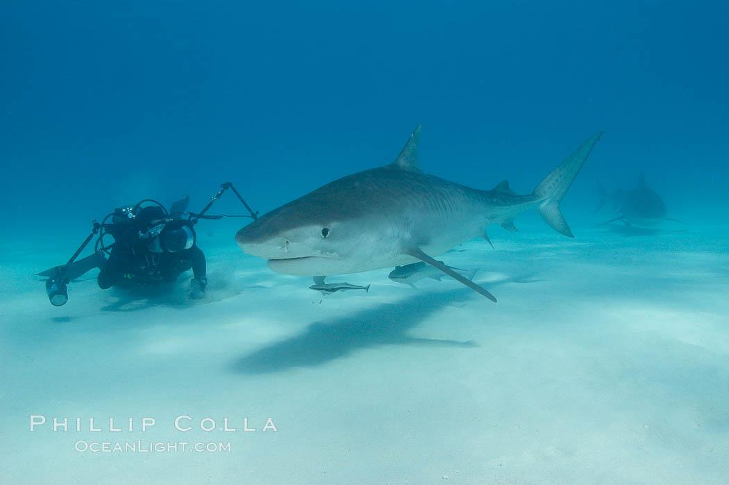 Tiger shark and photographer Keith Grundy. Bahamas, Galeocerdo cuvier, natural history stock photograph, photo id 10665