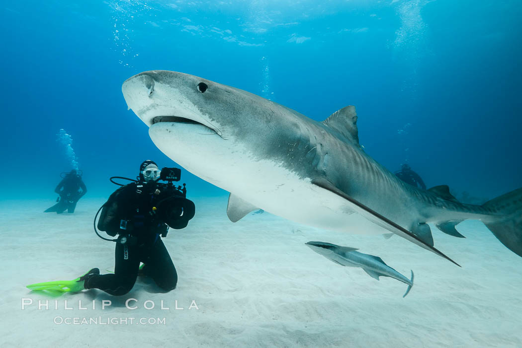 Image 31890, Tiger shark. Bahamas, Galeocerdo cuvier, Phillip Colla, all rights reserved worldwide. Keywords: animal, animalia, atlantic, bahamas, carcharhinidae, carcharhiniformes, chondrichthyes, chordata, creature, cuvier, danger, dangerous, diver, elasmobranch, elasmobranchii, fear, galeocerdo, galeocerdo cuvier, jaws, man eater, nature, ocean, oceans, outdoors, outside, predator, requin tigre, risk, scuba diver, sea, shark, sharks, submarine, tiburon tigre, tiger shark, tigerhai, underwater, underwater photographer, vertebrata, wildlife.