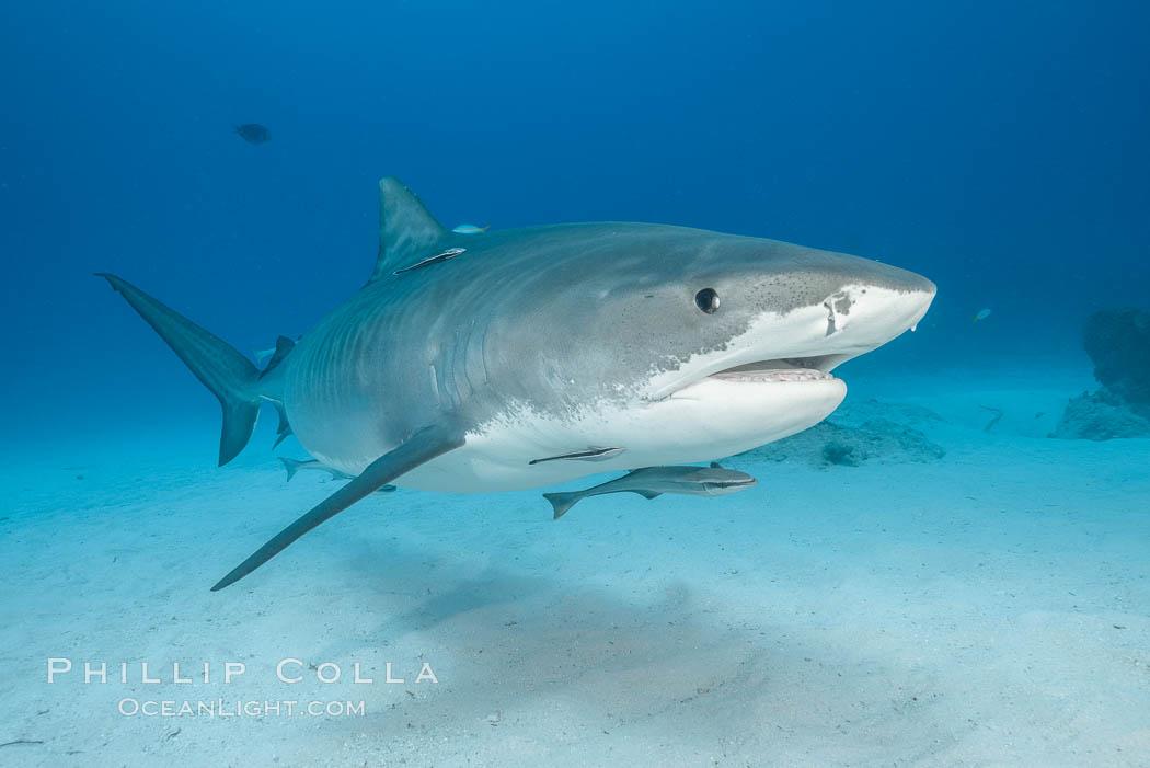 Tiger shark. Bahamas, Galeocerdo cuvier, natural history stock photograph, photo id 31898