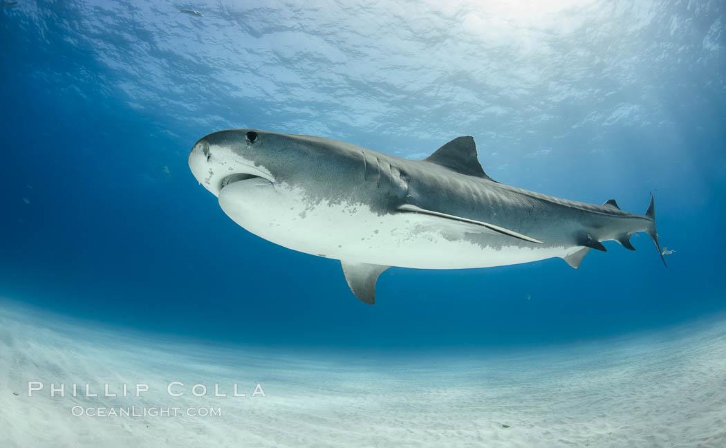 Tiger shark. Bahamas, Galeocerdo cuvier, natural history stock photograph, photo id 31906