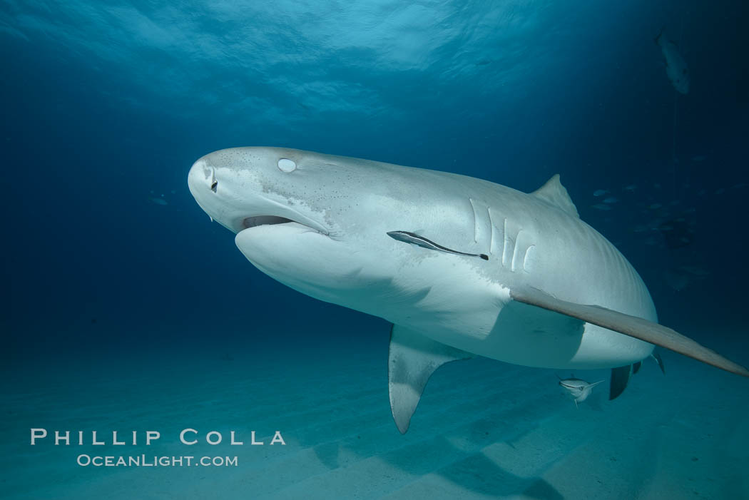 Tiger shark with closed nictating membrane. Bahamas, Galeocerdo cuvier, natural history stock photograph, photo id 31910