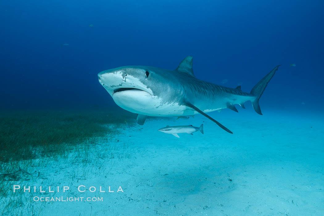 Image 31918, Tiger shark. Bahamas, Galeocerdo cuvier