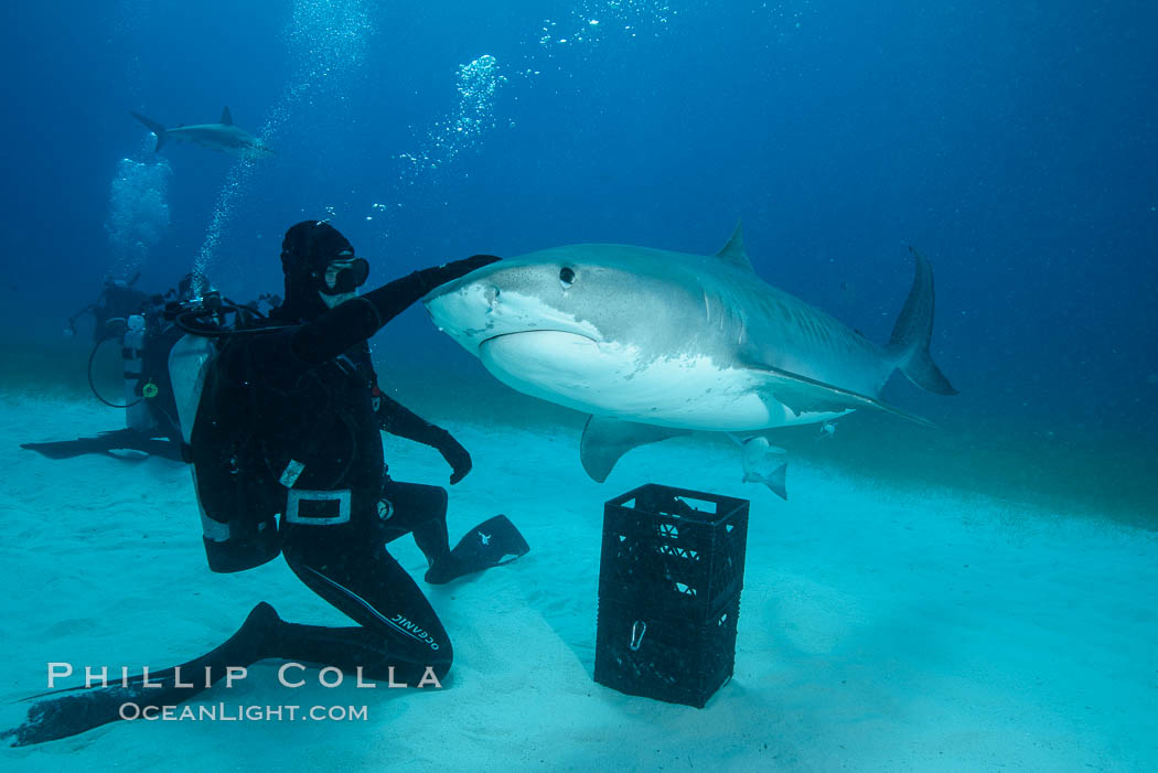 Expert hand feeds multiple tiger sharks in the Bahamas., Galeocerdo cuvier, natural history stock photograph, photo id 31922