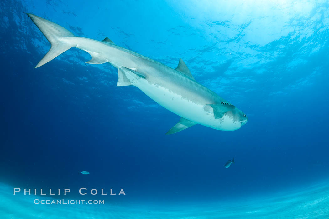 Tiger shark. Bahamas, Galeocerdo cuvier, natural history stock photograph, photo id 31884