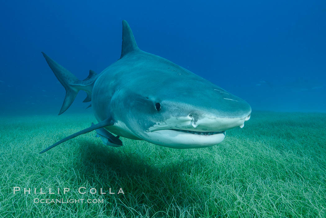 Tiger shark close up view, including nostrils and ampullae of Lorenzini. Bahamas, Galeocerdo cuvier, natural history stock photograph, photo id 31944