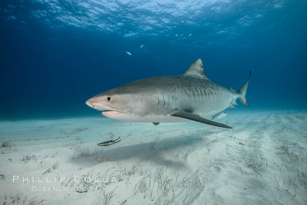 Tiger shark. Bahamas, Galeocerdo cuvier, natural history stock photograph, photo id 31960