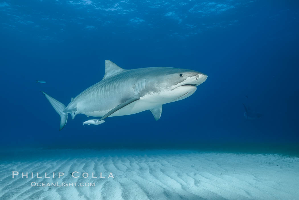 Tiger shark. Bahamas, Galeocerdo cuvier, natural history stock photograph, photo id 31883