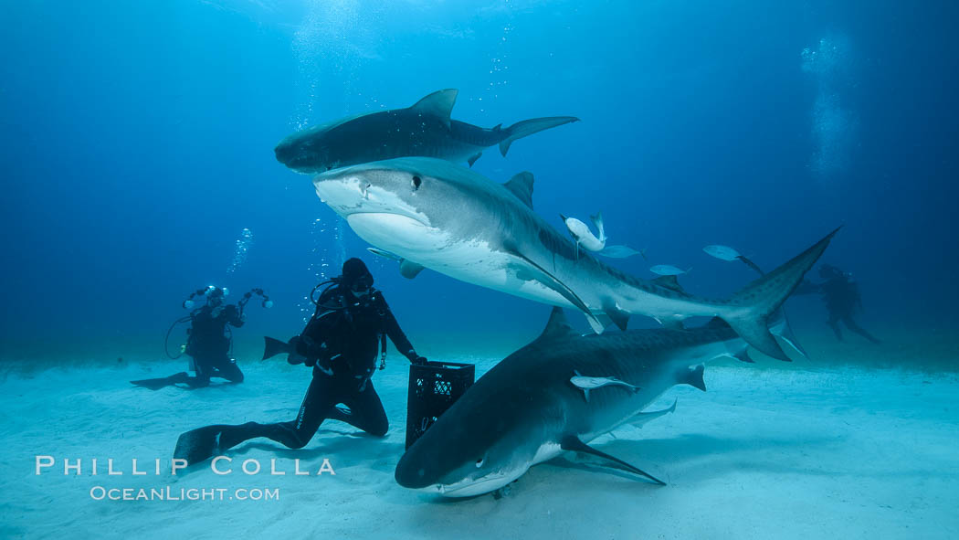 Expert hand feeds multiple tiger sharks in the Bahamas. Bahamas, Galeocerdo cuvier, natural history stock photograph, photo id 31899