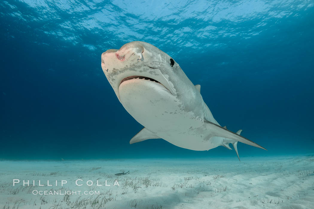 Injured tiger shark.  This young and small tiger shark shows injuries about its face, likely from bites by other sharks. Bahamas, Galeocerdo cuvier, natural history stock photograph, photo id 31907