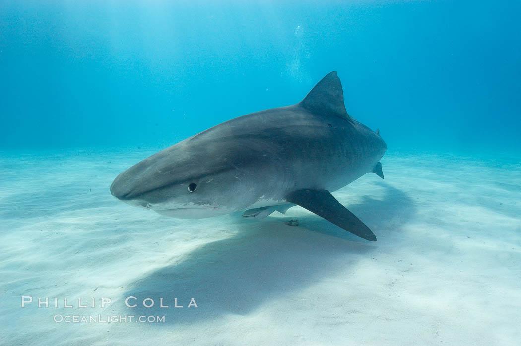 Tiger shark. Bahamas, Galeocerdo cuvier, natural history stock photograph, photo id 10698