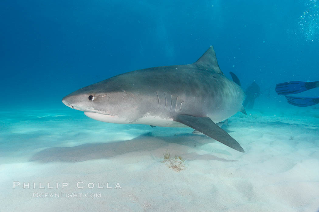 Tiger shark. Bahamas, Galeocerdo cuvier, natural history stock photograph, photo id 10718