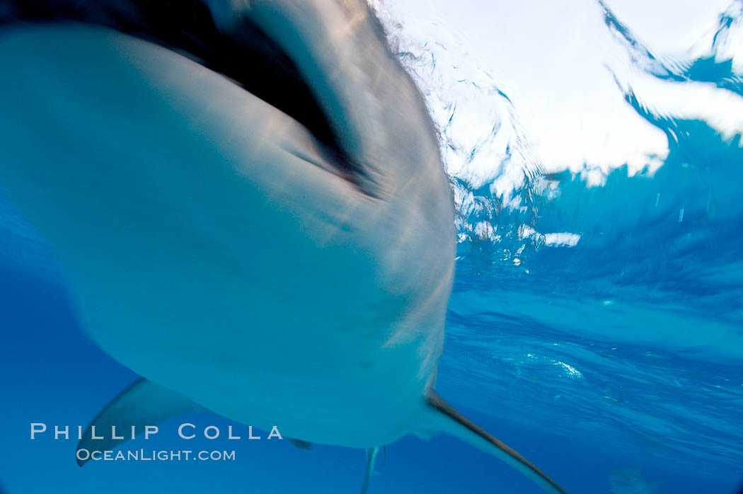 Tiger shark bumps the camera, photographed with a polecam (a camera on a long pole triggered from above the water, used by photographers who are too afraid to get in the water). Bahamas, Galeocerdo cuvier, natural history stock photograph, photo id 10708